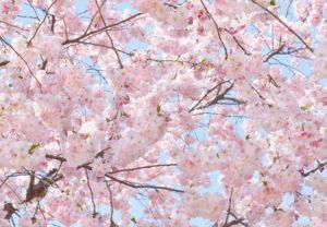 Wizard+Genius W+G fototapeta Růžové květy 366×254 cm